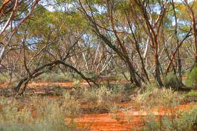 A photo of the Mallee